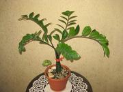 Замиокулькас — домашнее долларовое дерево.